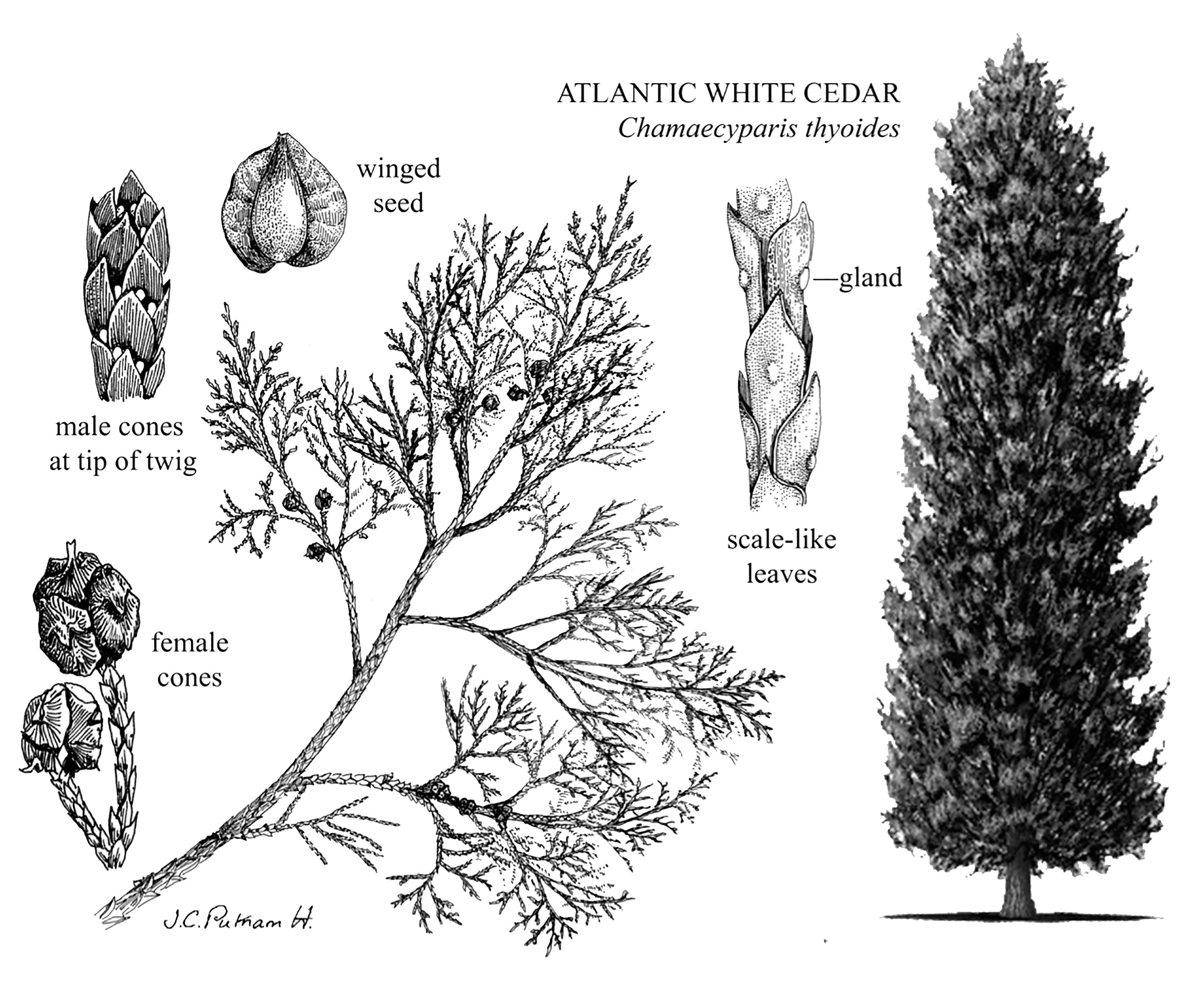 Atlantic White Cedar Species Drawing